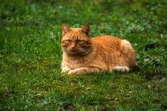 Κόκκινη γάτα που βρίσκεται σε ένα πράσινο λιβάδι, διάστημα αντιγράφων Στοκ Εικόνες