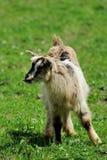 山羊在草甸 免版税库存照片