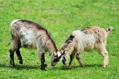 山羊在草甸 库存图片