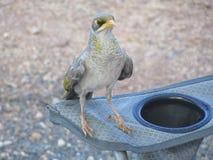 澳大利亚鸟 库存图片