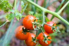 与绿色叶子的湿成熟蕃茄 库存照片