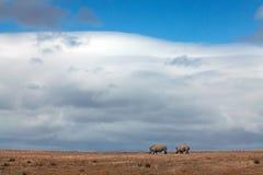 Δύο ρινόκεροι που περπατούν πέρα από μια πεδιάδα Στοκ Φωτογραφία