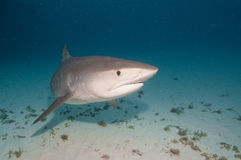 游泳关闭的一条好奇虎鲨 库存照片