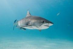 一条美丽的虎鲨在清楚的海洋 免版税库存照片