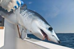 在水外面的一条幼小鲨鱼与大黑眼睛 库存照片
