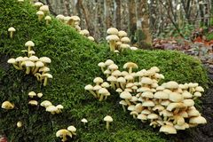 硫磺一束蘑菇 免版税图库摄影