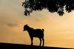 Коза стоя на стене смотря вне к снаружи Стоковое фото RF