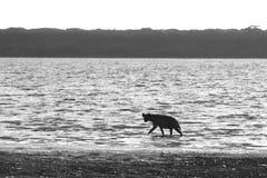 在湖岸的野生鬣狗 库存图片