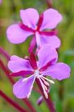 阿拉斯加国花桃红色红色野草绽放 免版税库存照片
