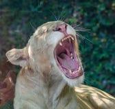 狮子哈欠 免版税库存照片