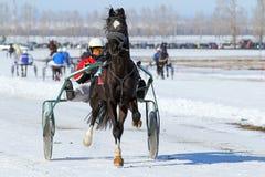 黑奥廖尔州小跑步马 免版税库存照片
