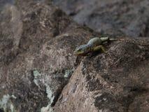 ящерица одичалая Стоковые Изображения RF