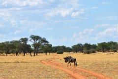 蓝色角马羚羊,纳米比亚 免版税库存图片