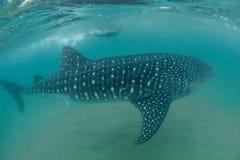 一个自由的潜水者和鲸鲨 库存照片