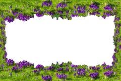 花框架;在白色背景的番红花 库存照片