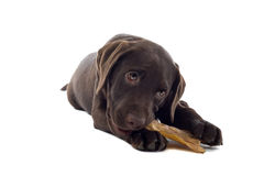 嚼拉布拉多小狗的骨头 免版税库存照片