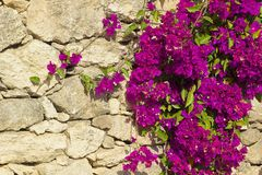 桃红色九重葛对古希腊墙壁 免版税库存照片