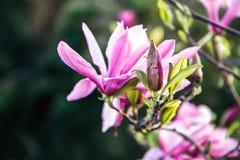 木兰树开花  在自然抽象软的花卉背景的美丽的桃红色木兰花 在植物的春天花 免版税库存照片