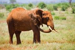 Африканский ландшафт с красными слонами Стоковая Фотография RF