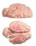 Изолированный мозг Стоковое Изображение RF