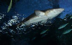 акулы Стоковые Фото