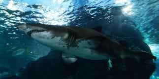 акулы Стоковые Изображения RF