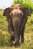 大象在前面站立 免版税库存照片