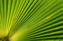 棕榈叶背景 免版税图库摄影