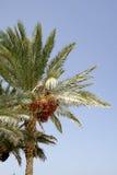 天空的棕榈树 库存照片