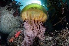 海荨麻水母和海带森林 库存图片