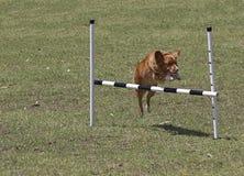 狗跳 免版税库存照片