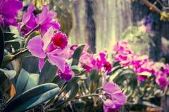 美丽的桃红色兰花,兰花植物 选择聚焦,被定调子 图库摄影
