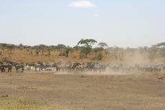 斑马在塞伦盖蒂国家公园,坦桑尼亚,非洲 免版税库存照片