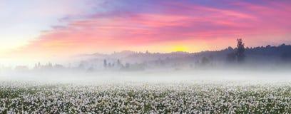 在日出的黄水仙 库存照片