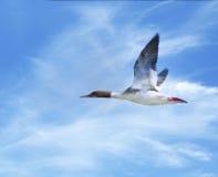 共同的秋沙鸭飞行 库存图片