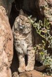 在岩石的好奇美洲野猫 免版税图库摄影