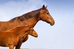与马驹画象的母马 库存照片