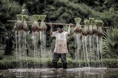农夫种植在雨季的米 库存图片