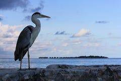 灰色苍鹭和水别墅 免版税图库摄影