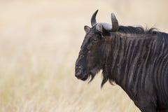 与垫铁特写镜头的蓝牛羚角马在阳光看 免版税库存照片