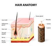 毛囊的图在皮肤的横断面分层堆积 免版税库存照片