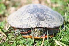 被绘的乌龟伊利诺伊野生生物 免版税图库摄影
