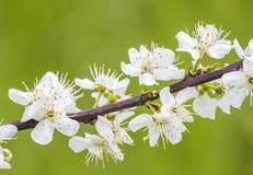 苹果开花特写镜头在春天 免版税库存图片
