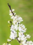 苹果开花特写镜头在春天 库存照片