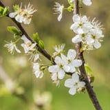 苹果开花特写镜头在春天 免版税图库摄影