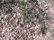 做他们的方式的绿色春天草通过与黄色下落的叶子的地面 免版税图库摄影