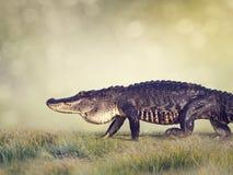 Μεγάλος αλλιγάτορας της Φλώριδας Στοκ Εικόνες