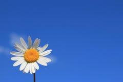 在蓝天的白色春黄菊 免版税库存照片
