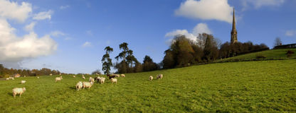 овцы Стоковые Изображения
