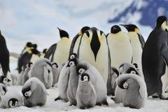 与小鸡的皇企鹅 免版税库存图片
